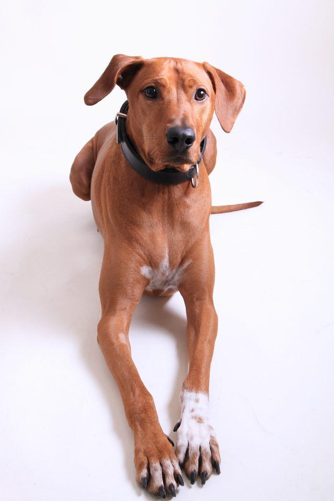 Gros-chien
